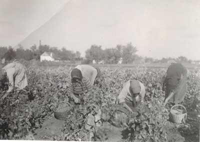 szőlő_nincs_évszám